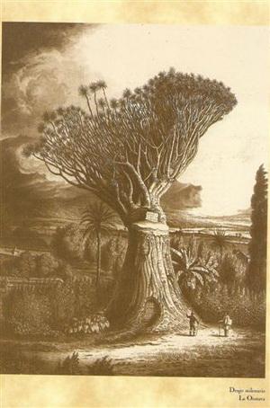 Drago de la Orotava - Alexander von Humboldt