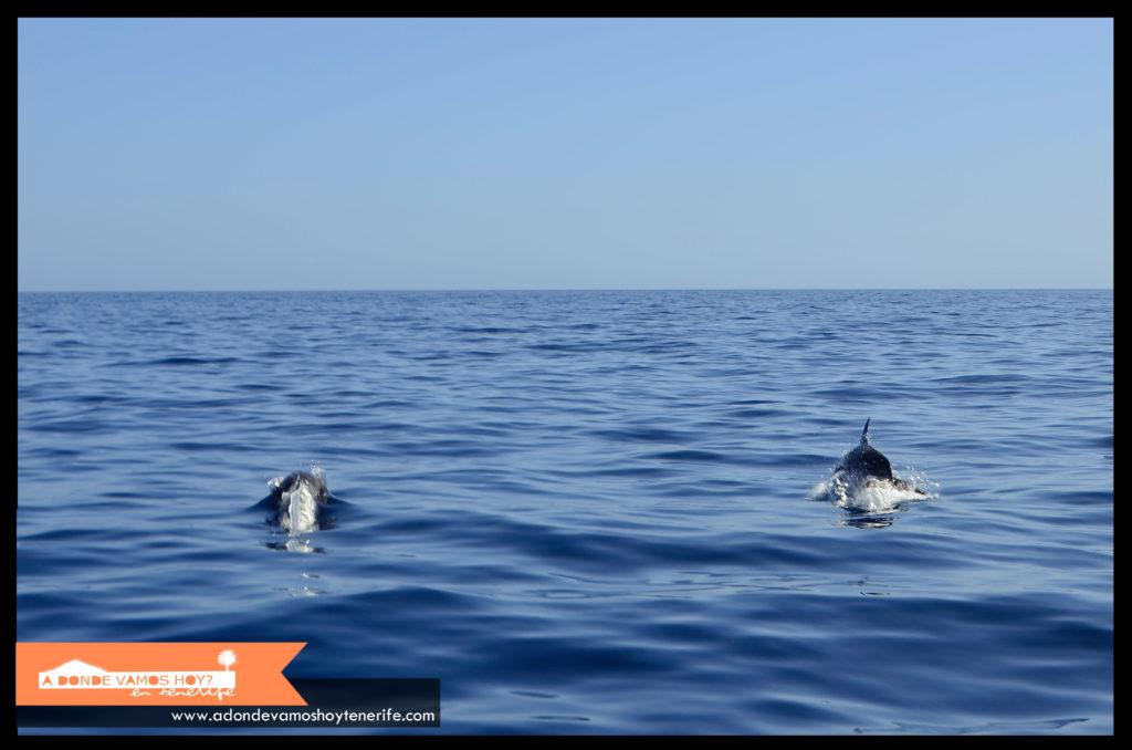 Delfines en la costa de Los Gigantes